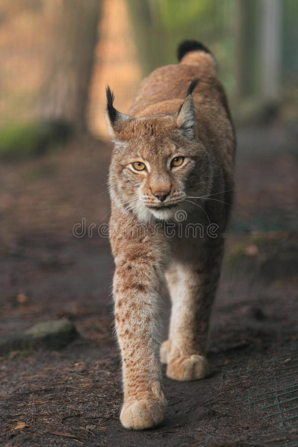 Eurasian lynx. The strolling eurasian lynx in the soil royalty free stock photo