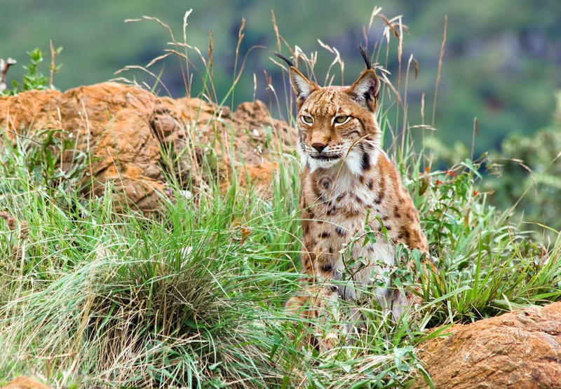 Download Eurasian lynx stock image. Image of carnivore, mountains - 23993485