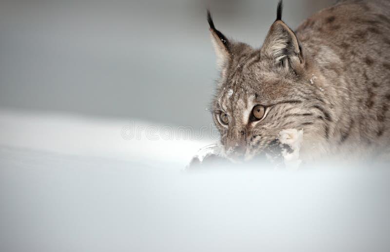 Download Eurasian Lynx stock photo. Image of horizontal, bird - 25136084