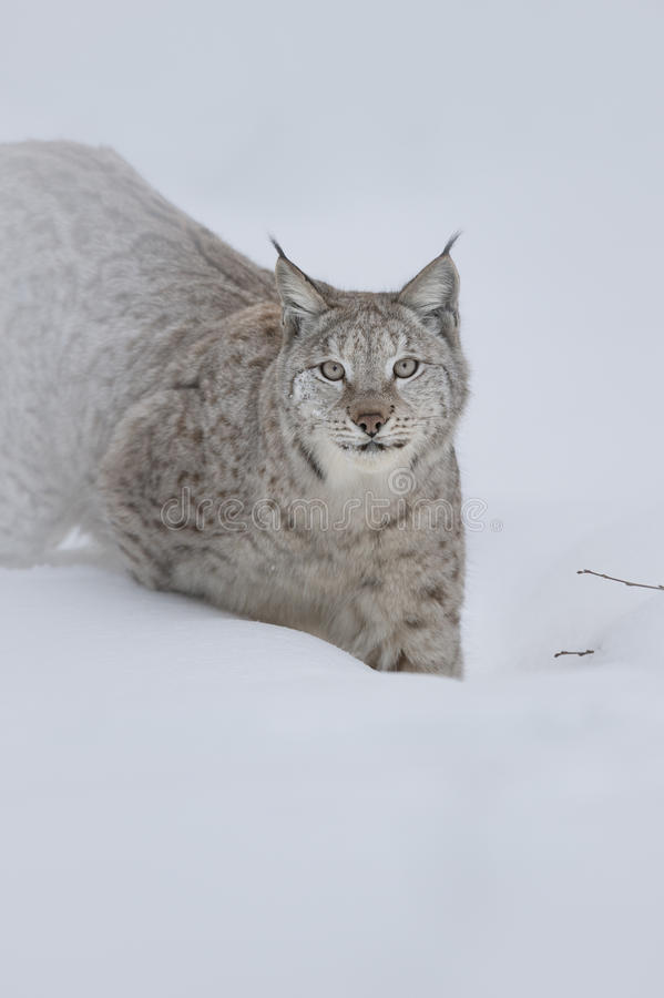 Download Eurasian Lynx Stock Photography - Image: 28064342