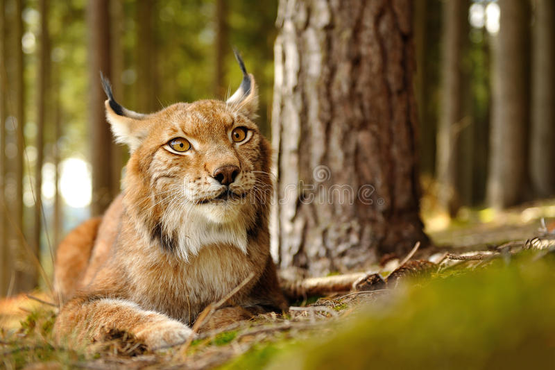 Eurasian lynx. Closeup view to eurasian lynx next to the tree in forest stock photos