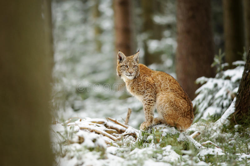 Eurasian lynx cub standing in winter colorful forest with snow. Trees in background. Freeze cold season royalty free stock photos