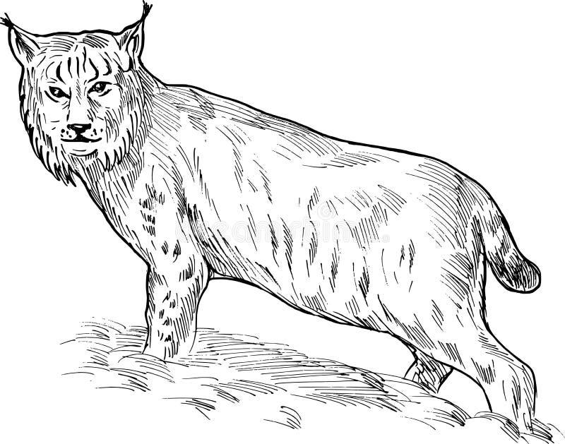 Download Eurasian lynx drawing stock vector. Image of illustration - 13067820