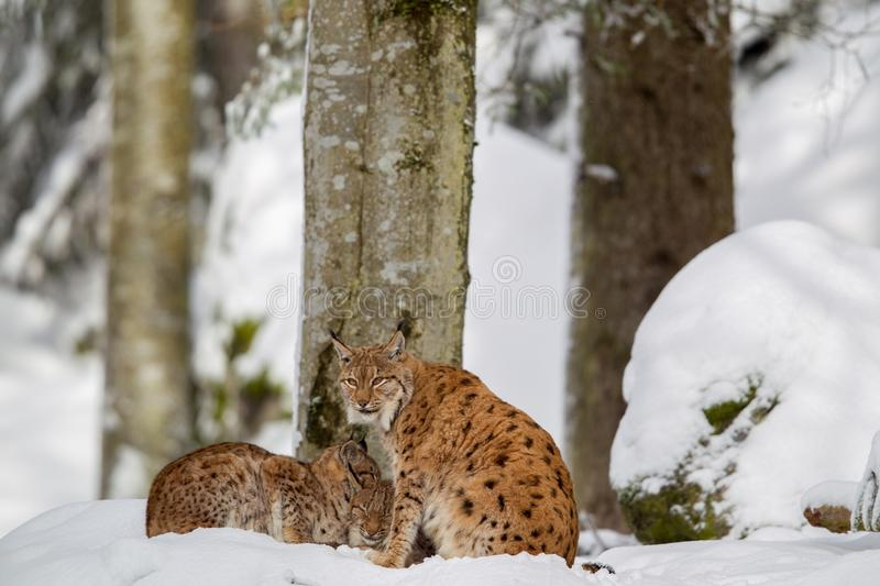 Eurasian lynx Lynx lynx. Family, mother with two kittens, in the snow in the animal enclosure in the Bavarian Forest National Park, Bavaria, Germany royalty free stock photography