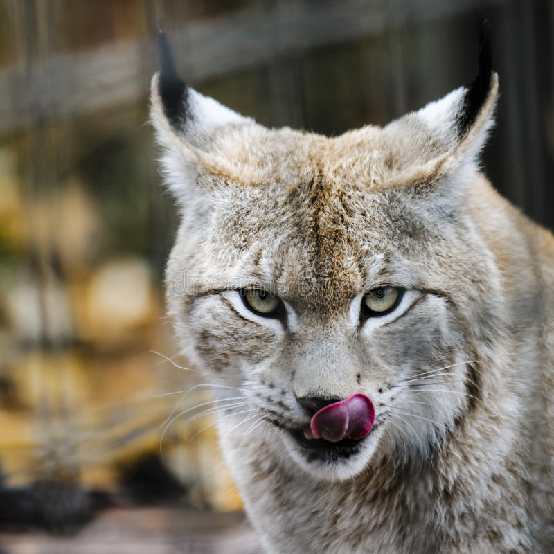 Eurasian Lynx. Feeding on a large bone at the zoo royalty free stock image
