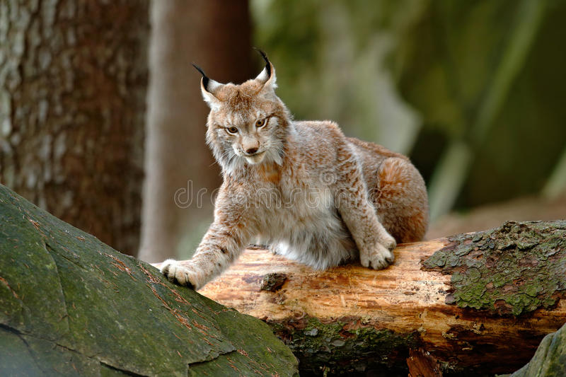 Eurasian Lynx in the forest, hidden in the grass. Cute lynx in the autumn forest. Wildlife scene from Europe. Lynx with tree trunk. Germany stock photo