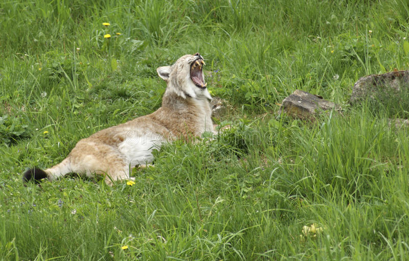 Download Eurasian Lynx gaping stock image. Image of europe, carnivore - 32921899