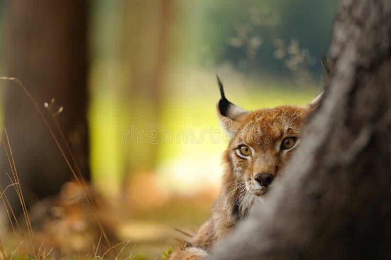 Eurasian lynx. Hidding behind tree trunk in autumn royalty free stock image