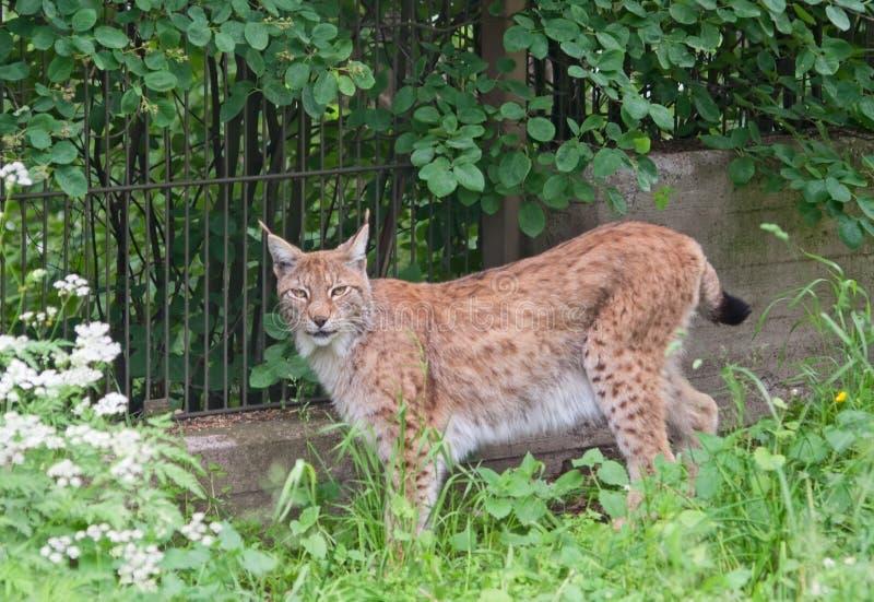 Download Eurasian Lynx Royalty Free Stock Photos - Image: 31867018