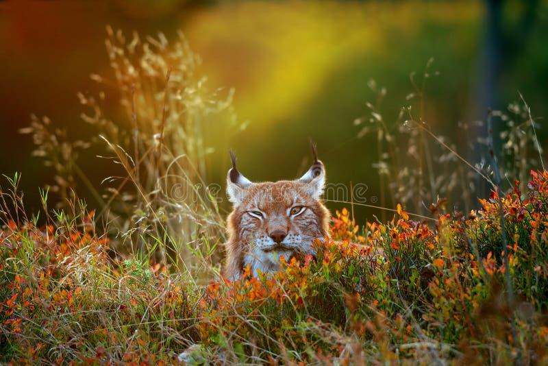 Download Eurasian lynx stock photo. Image of kitty, purebred, predator - 48957404