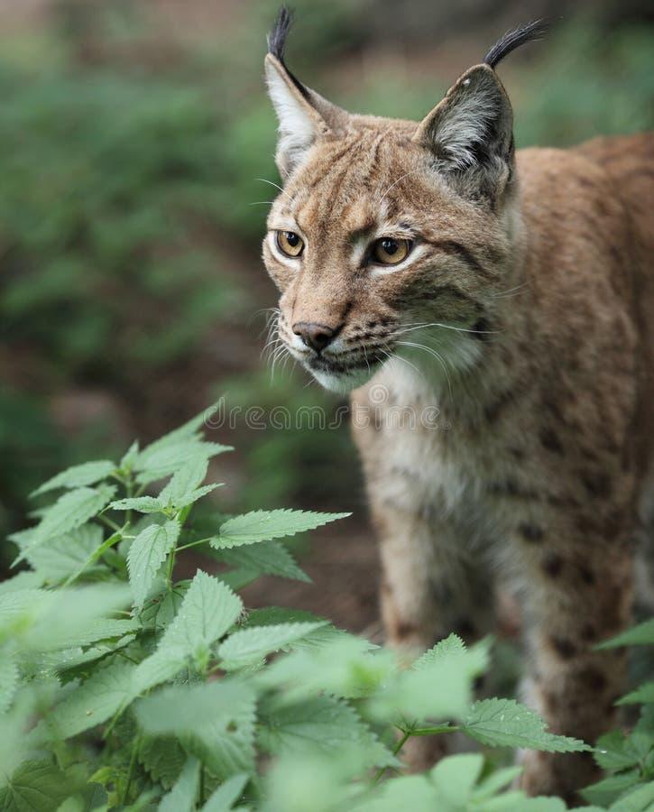 Free Eurasian Lynx (Lynx Lynx) Royalty Free Stock Image - 13396906