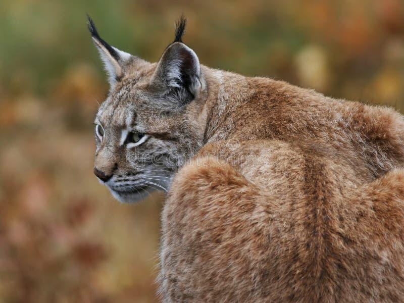 Eurasian Lynx (Lynx lynx). Peacefully resting in fall landscape stock image