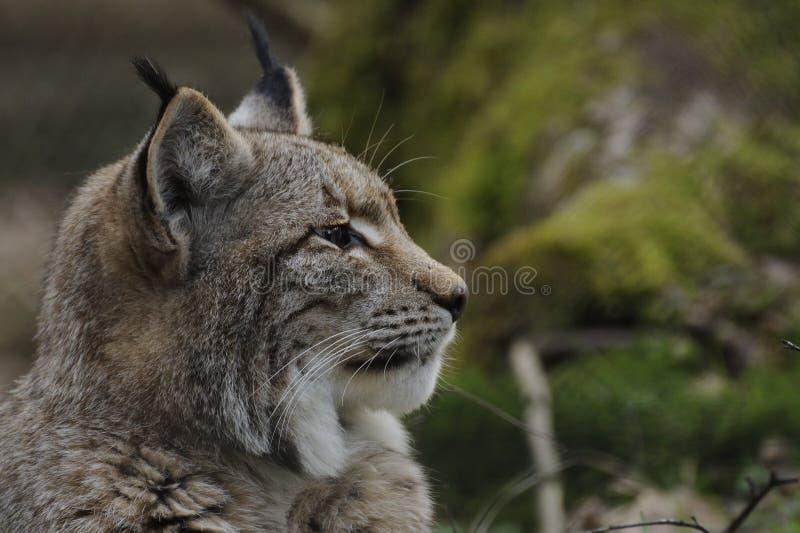 Eurasian lynx ( lynx lynx ) royalty free stock photos