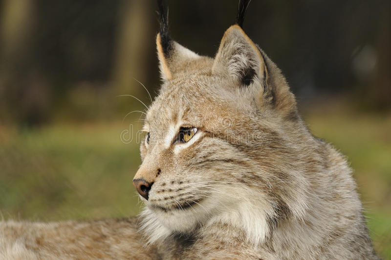 Eurasian lynx ( lynx lynx ). The Eurasian lynx is a medium-sized cat who lives in the European and Siberian forests. Sadly it `s nearly impossible to find this royalty free stock images
