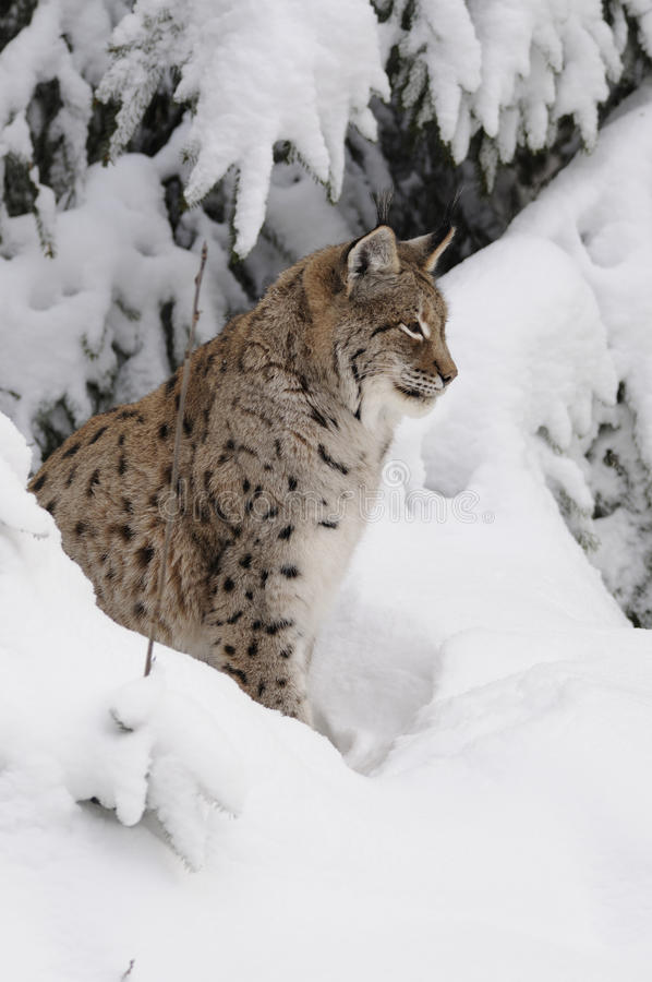 Eurasian lynx ( lynx lynx ). The Eurasian lynx is a medium-sized cat who lives in the European and Siberian forests. Sadly it `s nearly impossible to find this royalty free stock photos