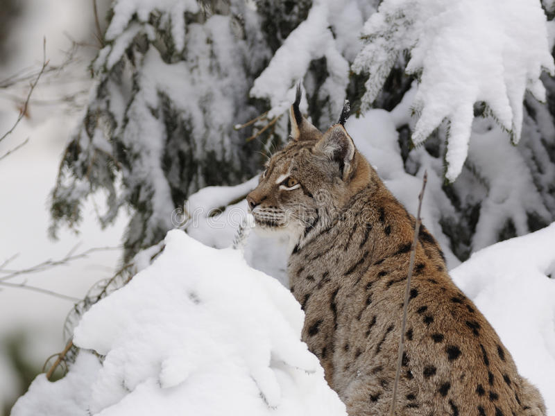 Eurasian Lynx ( Lynx Lynx ) Royalty Free Stock Photo