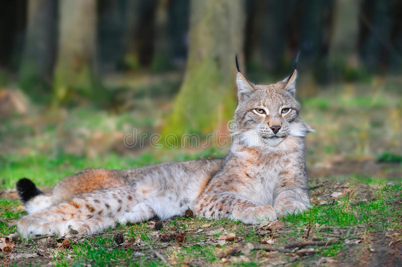 Eurasian lynx (Lynx lynx). The Eurasian lynx ranges from central and northern Europe across Asia. Since the beginning of the 20th century, the Eurasian lynx was royalty free stock image