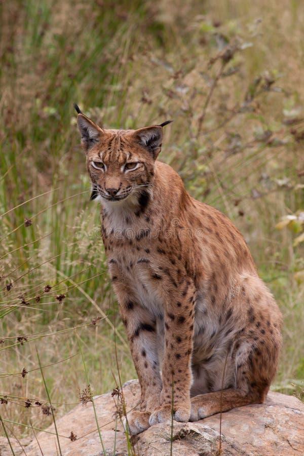 Download Eurasian lynx (Lynx lynx) stock photo. Image of eurasian - 24823424