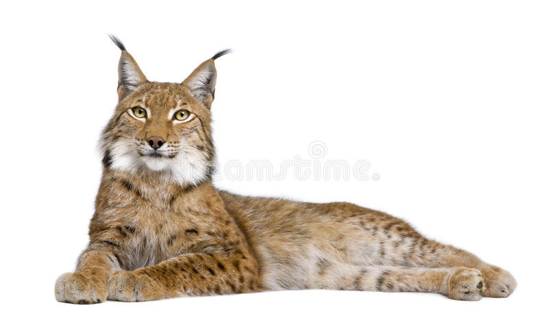 Eurasian Lynx - Lynx lynx (5 years old). In front of a white background royalty free stock photos
