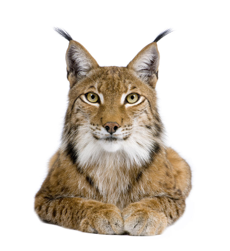 Eurasian Lynx - Lynx lynx (5 years old). In front of a white background stock photo