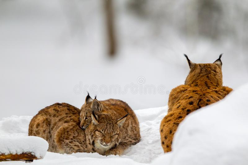 Eurasian lynx Lynx lynx royalty free stock images