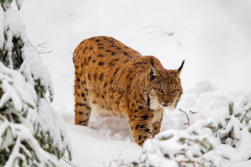 Eurasian lynx Lynx lynx. In the snow in the animal enclosure in the Bavarian Forest National Park, Bavaria, Germany royalty free stock photo
