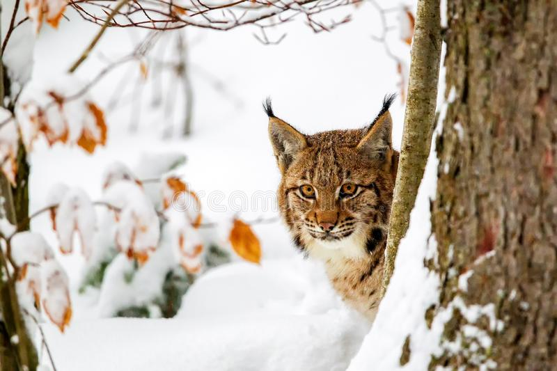 Eurasian lynx Lynx lynx. In the snow in the animal enclosure in the Bavarian Forest National Park, Bavaria, Germany royalty free stock image