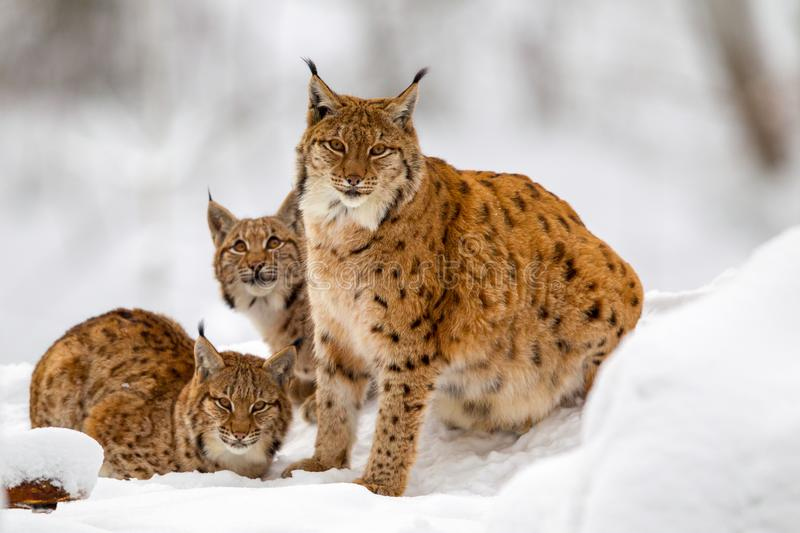Eurasian lynx Lynx lynx. Family, mother with two kittens, in the snow in the animal enclosure in the Bavarian Forest National Park, Bavaria, Germany stock image