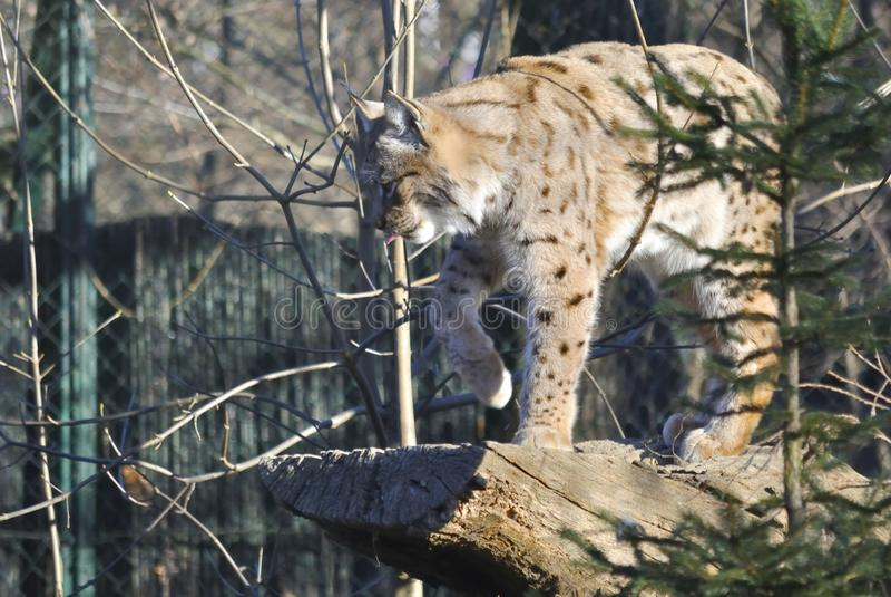 Eurasian lynx, or Lynx lynx. Hunting Eurasian lynx Lynx lynx in the winter. In Zagreb Zoo, Croatia stock images