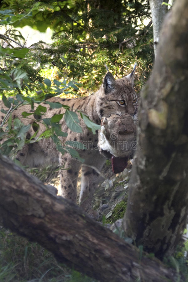 Eurasian lynx (Lynx lynx) with a prey. royalty free stock photos