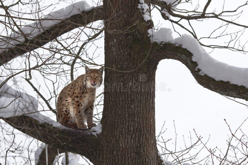 Download Eurasian Lynx (Lynx Lynxs) Licking His Chops Stock Image - Image: 29536197
