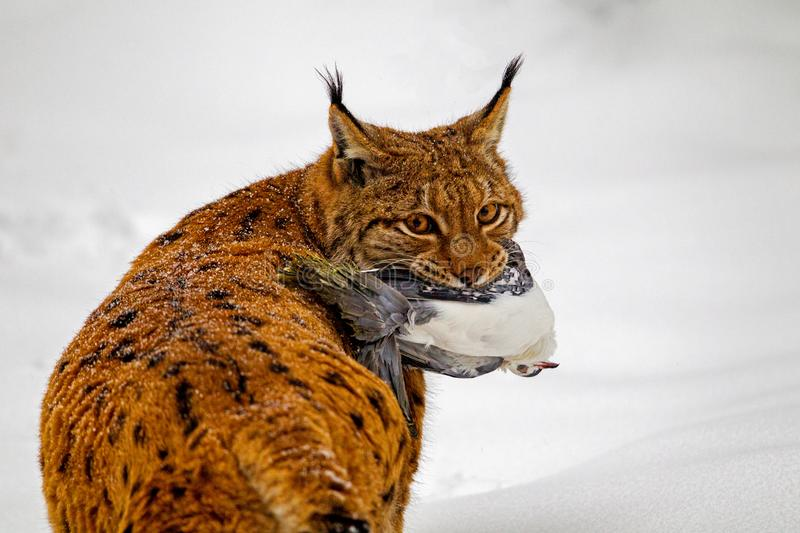 Eurasian lynx Lynx lynx. With prey in the mouth in the snow in the animal enclosure in the Bavarian Forest National Park, Bavaria, Germany royalty free stock images