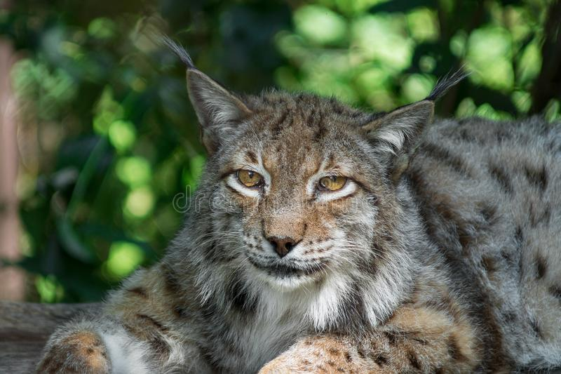 Eurasian lynx resting in the shade. In zoo stock photo