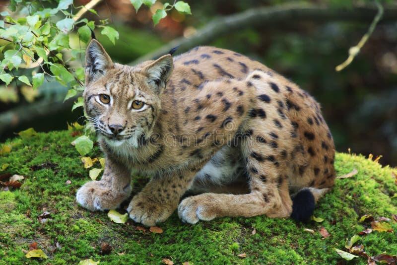 Eurasian Lynx. On a rock royalty free stock photo