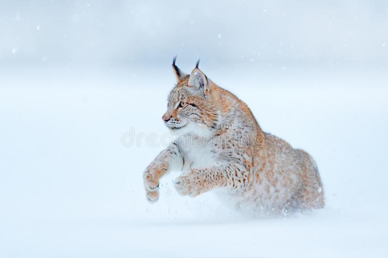 Eurasian Lynx running, wild cat in the forest with snow. Wildlife scene from winter nature. Cute big cat in habitat, cold. Condition. Snowy forest with royalty free stock images