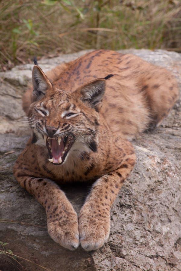 Download Eurasian Lynx Showing Its Teeth Stock Photo - Image: 24823430