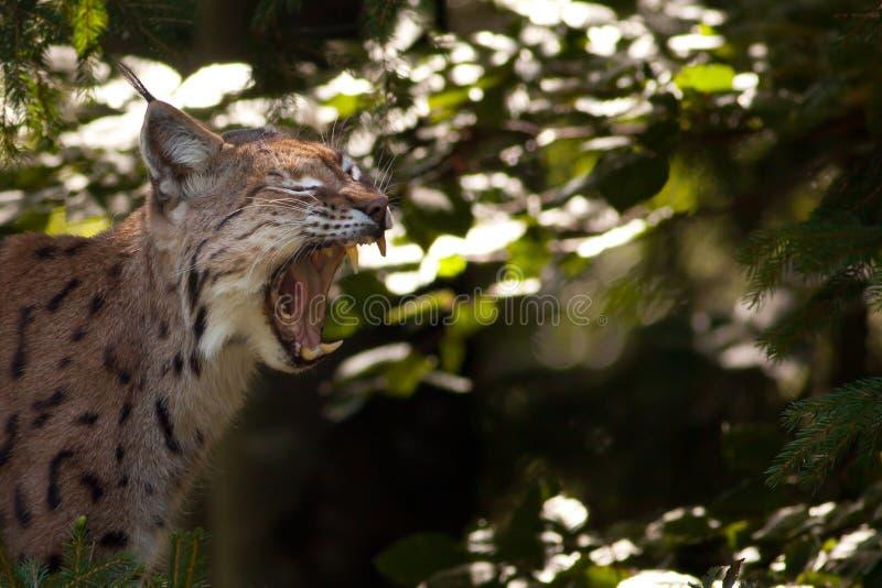 Eurasian lynx showing its teeth