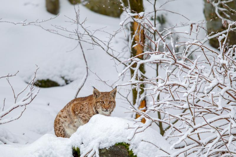 Eurasian lynx Lynx lynx. In the snow in the animal enclosure in the Bavarian Forest National Park, Bavaria, Germany royalty free stock photos