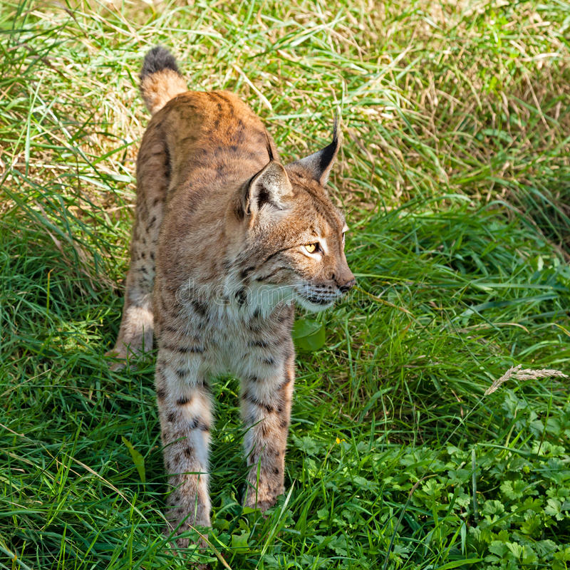 Eurasian Lynx Standing In The Grass Royalty Free Stock Photo