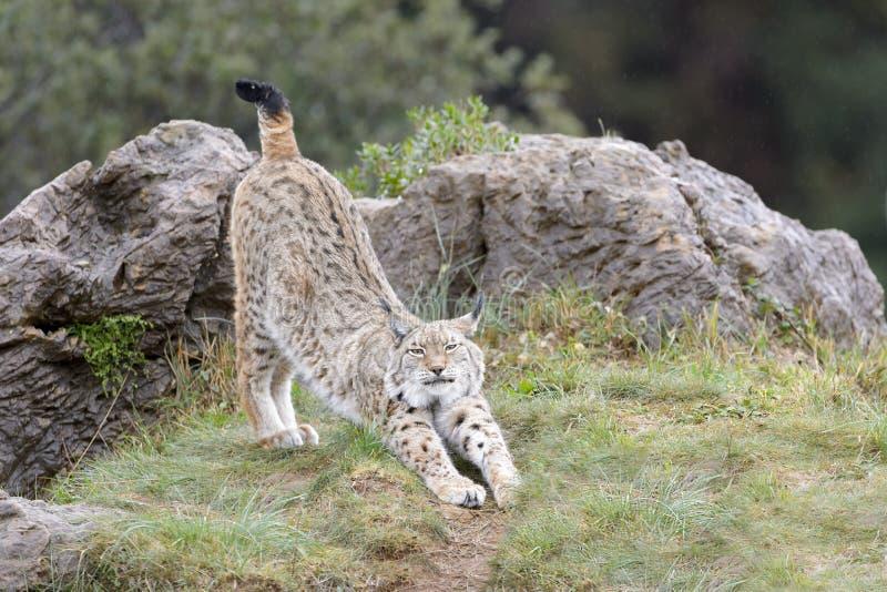 Eurasian lynx on top of a rock. Eurasian lynx (Lynx lynx), stretching on top of a rock, Cabarceno Natural Park, Cantabria, Spain stock photos