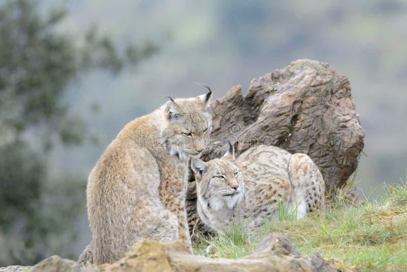 Eurasian lynx on top of a rock. Two Eurasian lynx (Lynx lynx), sitting on a rock, Spain stock image