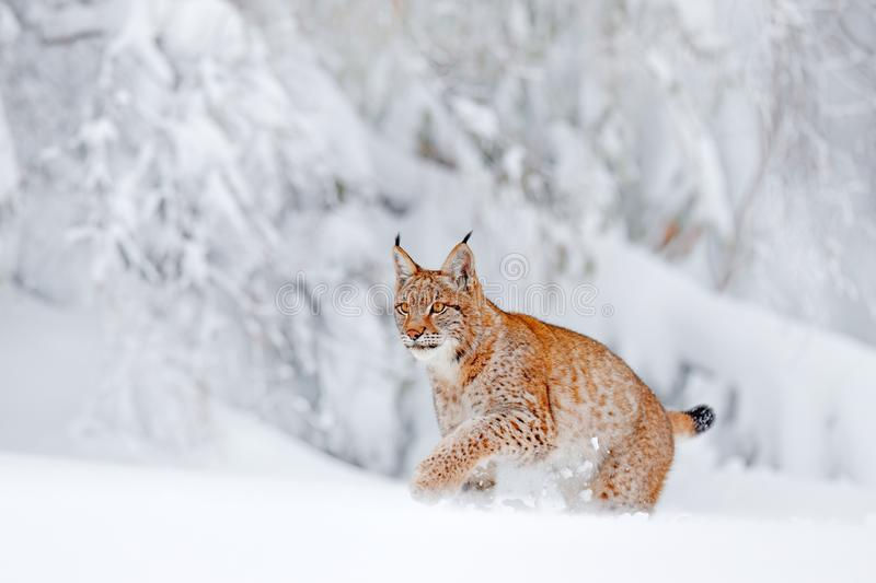 Eurasian Lynx walking, wild cat in the forest with snow. Wildlife scene from winter nature. Cute big cat in habitat, cold. Condition. Snowy forest with stock photo
