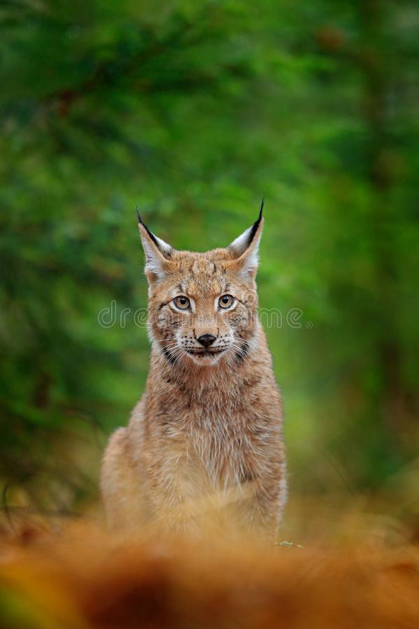 Free Eurasian Lynx Walking. Wild Cat From Germany. Bobcat Among The Trees. Hunting Carnivore In Autumn Grass. Lynx In Green Forest. Wil Royalty Free Stock Photo - 129582995