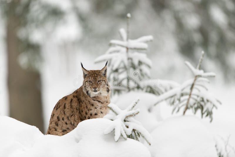 Eurasian lynx. In winter wood royalty free stock photos