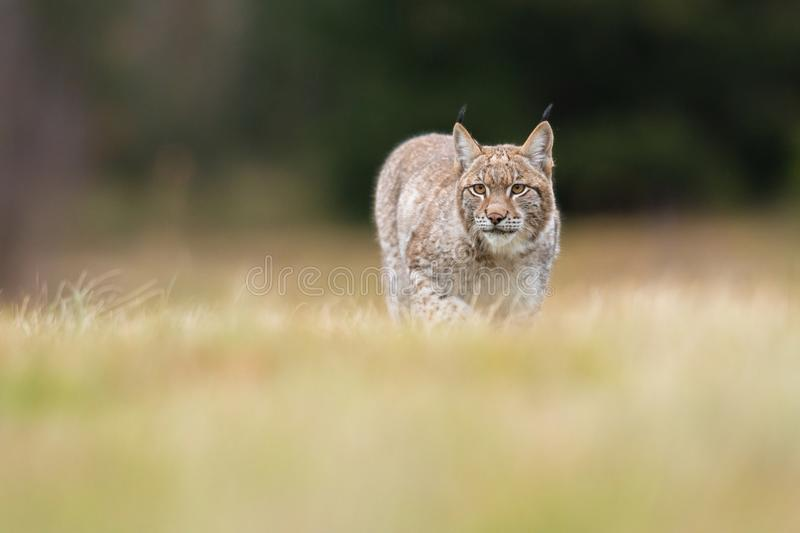 The Eurasian lynx Lynx lynx a young lynx on a meadow. Autumn scene with big european cat. Portrait of a relaxed animal. Eurasian lynx Lynx lynx a young lynx on stock images