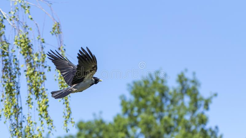 A eurasian magpie, flies against the sky, also known as common magpie. Pica pica. Close up stock photo