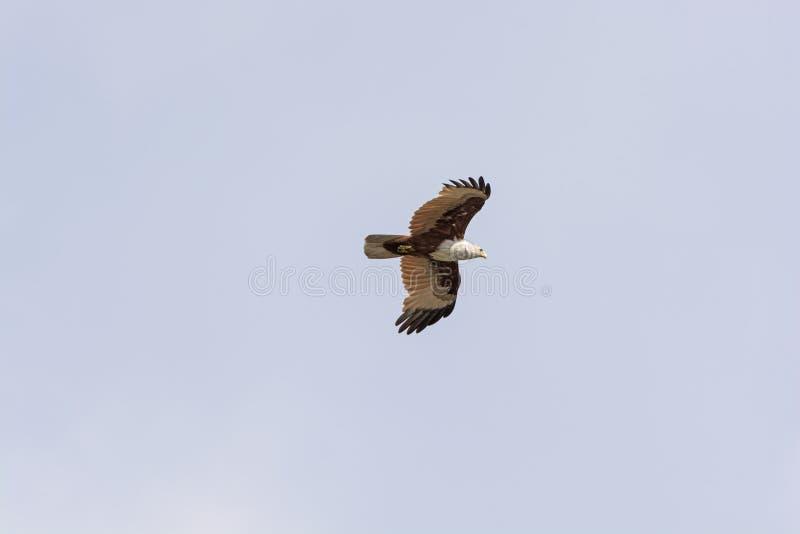 Eurasian Marsh Harrier in volo fotografia stock