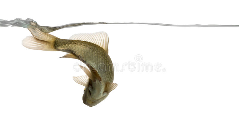 Eurasian minnow viewed from below, swimming under water line. Phoxinus phoxinus, isolated on white stock photo