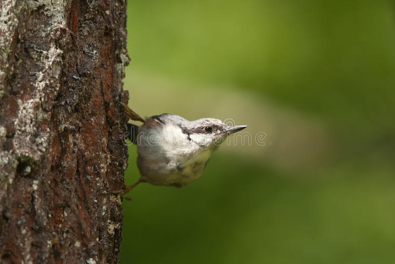 Eurasian Nuthatch. European Nuthatch on a tree, in summer stock photo