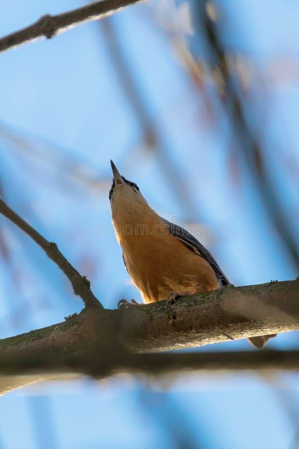 Eurasian Nuthatch, Little Songbird Sitta europaea Wood Nuthatch fotografering för bildbyråer